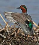 Sarcelle à ailes vertes
