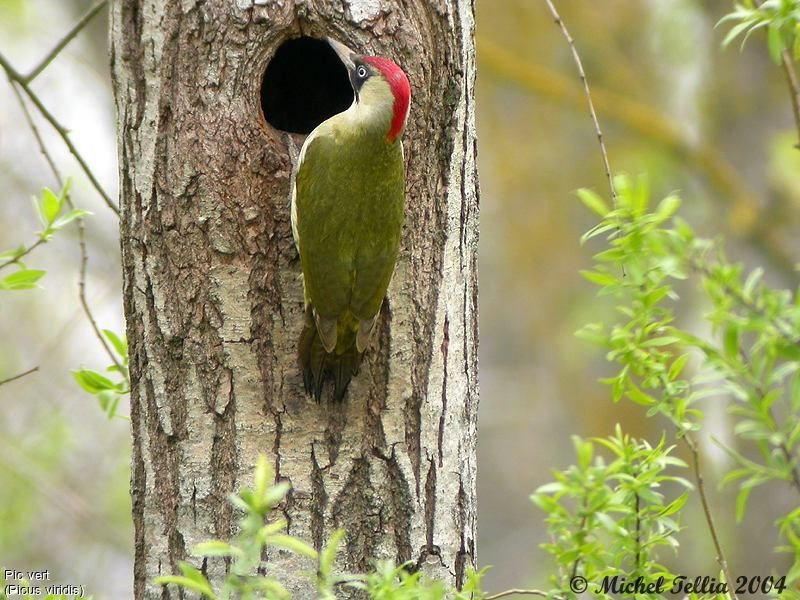 Pic vert ref mite6544 for Oiseau vert et rouge