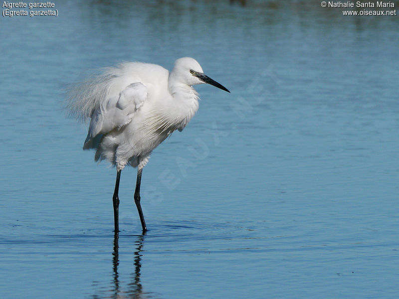Aigrette garzette adulte, identification, composition, Comportement
