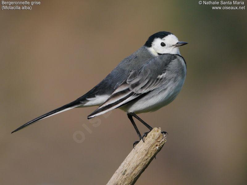 Bergeronnette grise motacilla alba for Oiseau gris et blanc
