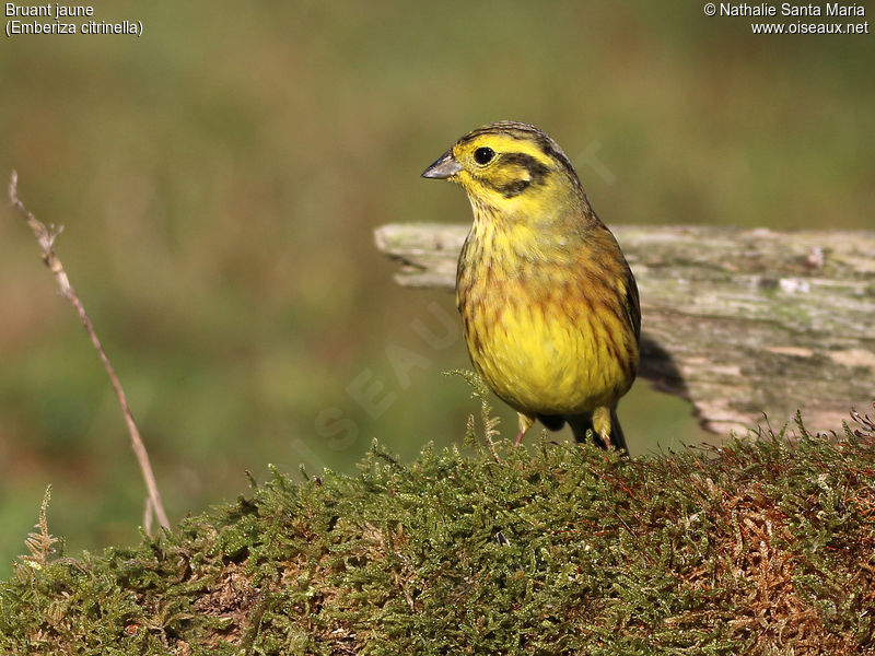 Bruant jaune adulte internuptial ref nasa195441 for Oiseau jaune france
