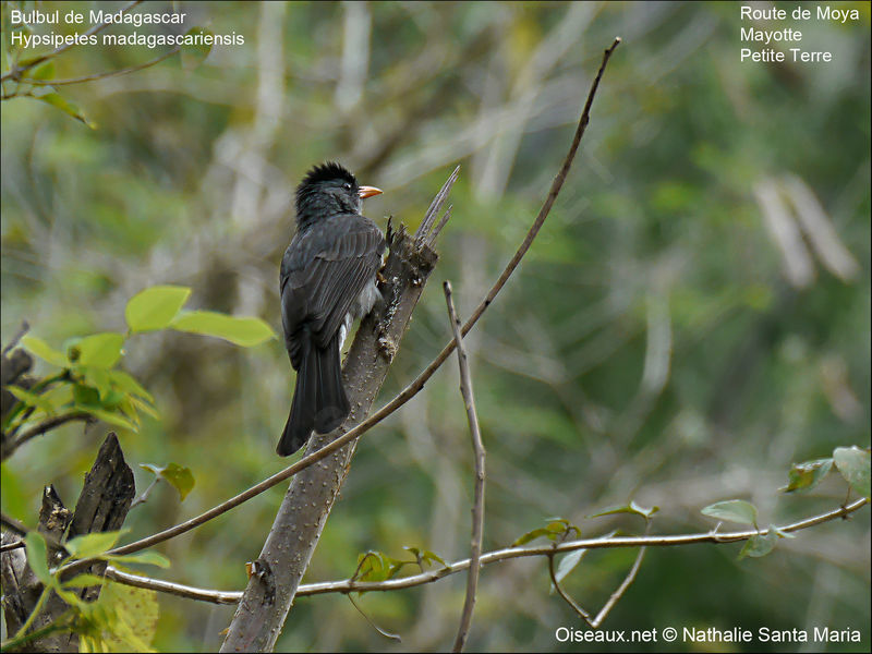 Bulbul de Madagascar adulte, identification, habitat, Comportement
