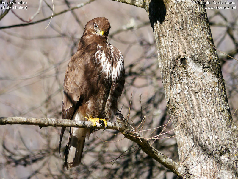 Buse variable adulte, identification, habitat, soins, Comportement