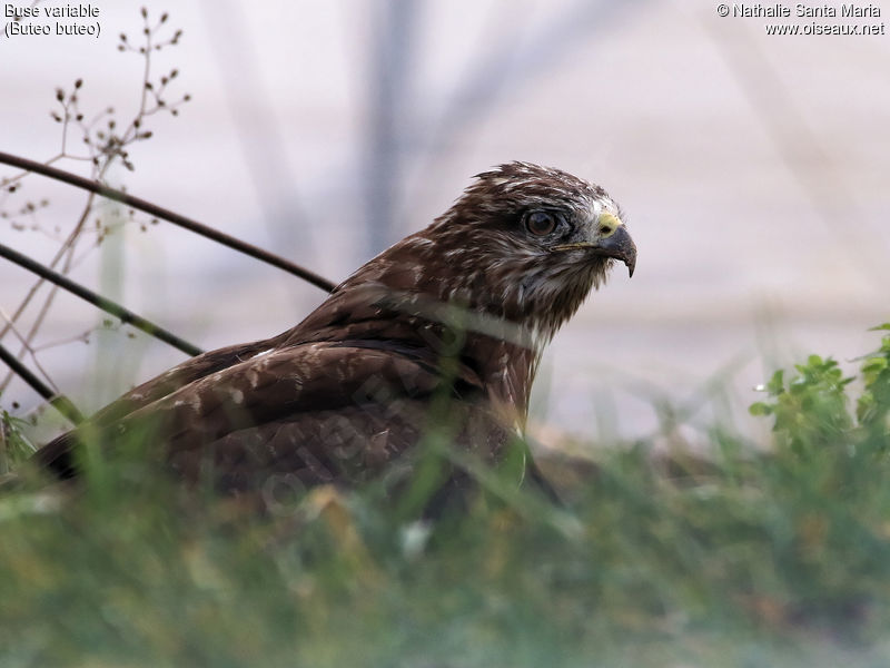 Buse variable immature, portrait, mue, pêche/chasse, Comportement