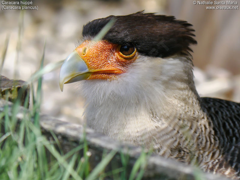 Caracara huppé adulte, identification, portrait, Comportement