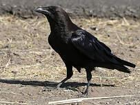Corbeau d'Édith