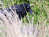 Corbeau de Tasmanie