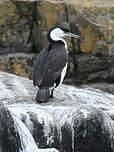 Cormoran de Tasmanie