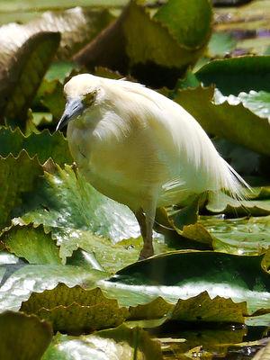 Crabier blanc