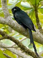 Drongo de Mayotte