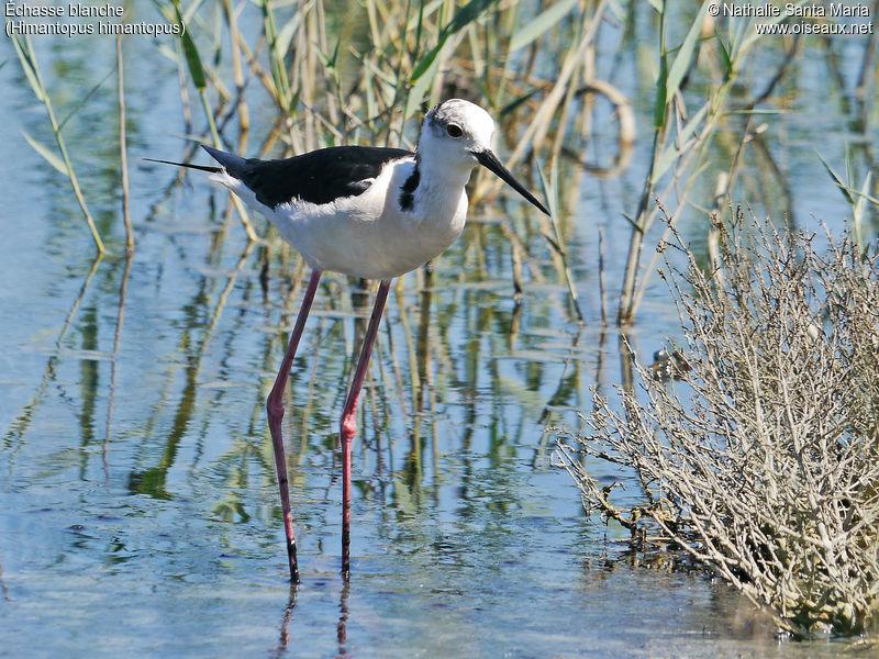 Chasse blanche himantopus himantopus - Chasse oiseaux electronique ...