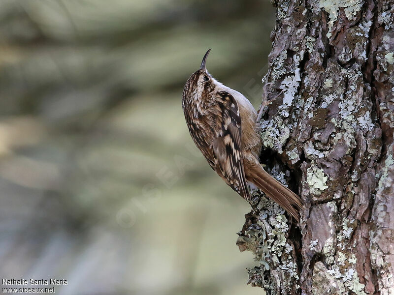 Grimpereau des jardins certhia brachydactyla for Liste oiseaux des jardins