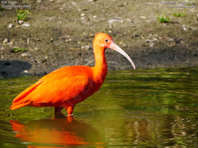 Ibis rouge adulte