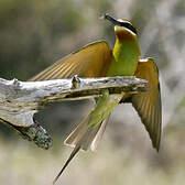 Guêpier de Madagascar