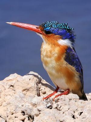 Martin-pêcheur huppé