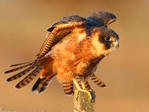 Petit Faucon