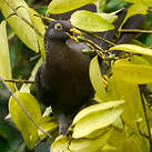 Pigeon des Comores