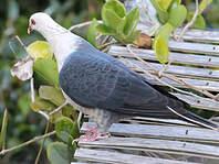 Pigeon leucomèle