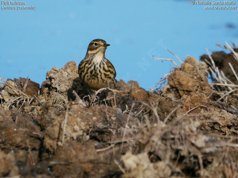 Pipit farlouse adulte, identification, habitat, marche