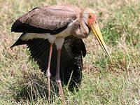 Tantale ibis