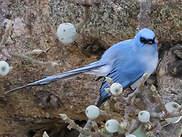 Tchitrec bleu