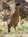 Traquet afroalpin