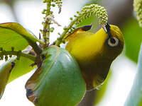 Zostérops de Mayotte
