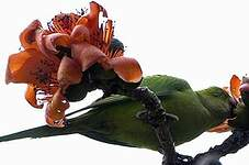 Perruche alexandre