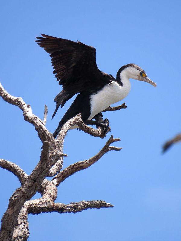 cormoran vari u00e9