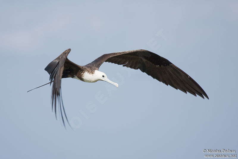 Magnificent frigatebird range - photo#47