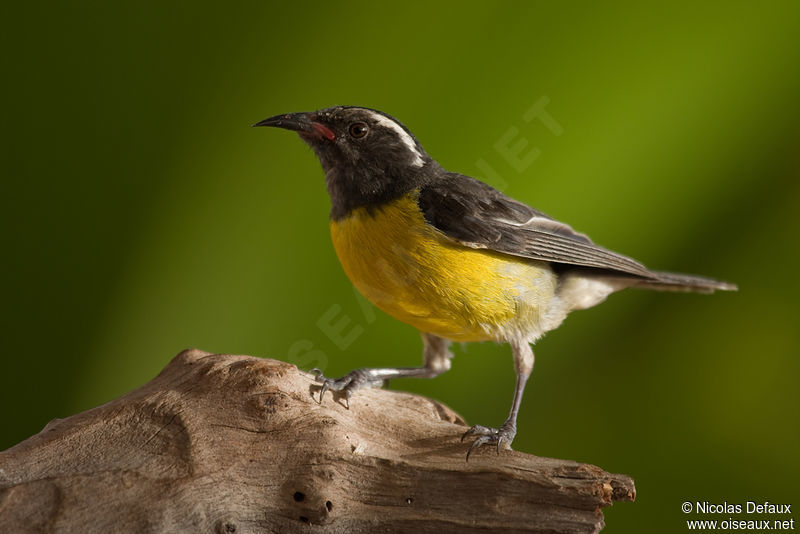 Sucrier ventre jaune ref nide104341 for Oiseau ventre jaune