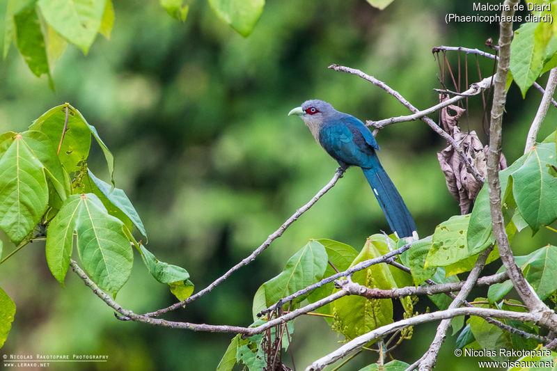 http://www.oiseaux.net/photos/nicolas.rakotopare/images/malcoha.de.diard.nira.1g.jpg