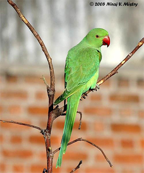 http://www.oiseaux.net/photos/niraj.vijaykumar.mistry/images/perruche.a.collier.nvmi.3g.jpg