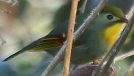 Léiothrix jaune