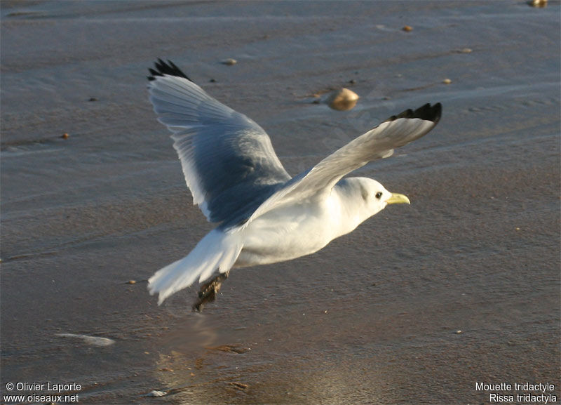 Mouette tridactyle adulte internuptial