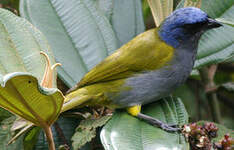 Tangara à tête bleue