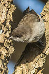 Parisome brune