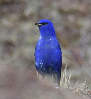 Grandala bleu