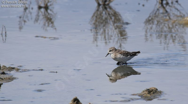 Little Stint adult post breeding