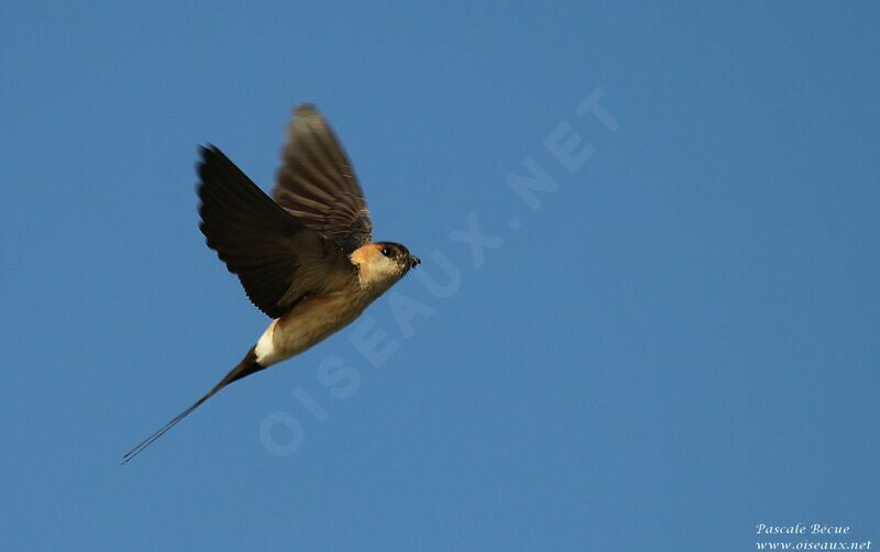 Red-rumped Swallow adult, Flight