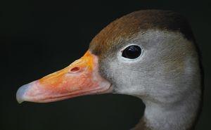 Canard amazonette
