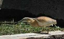 Crabier chevelu
