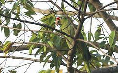 Amazone à lores rouges