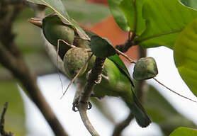 Barbu vert
