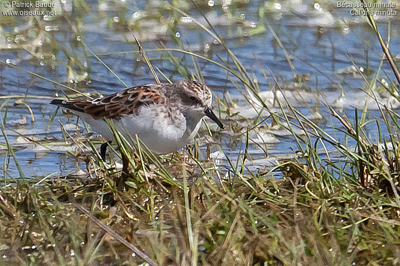 Little Stint adult breeding, identification