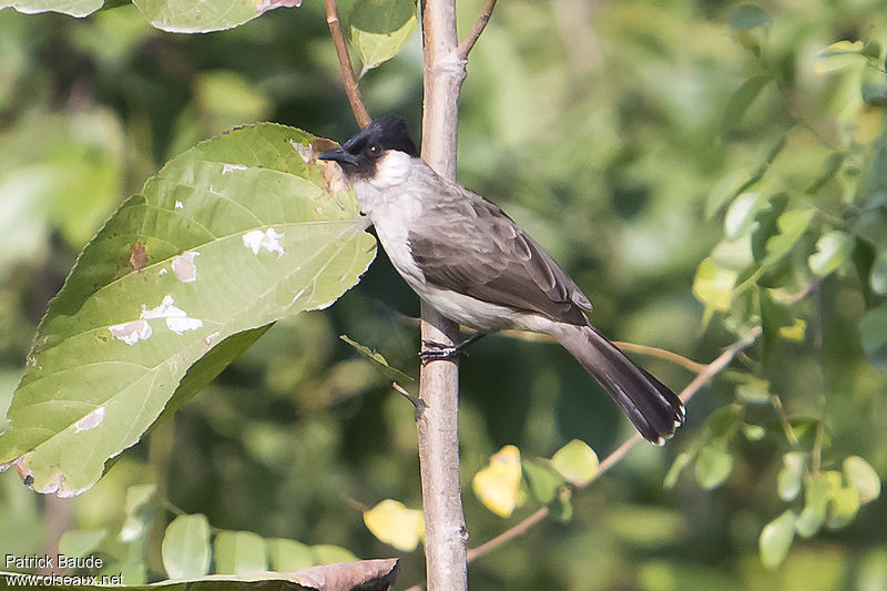 Bulbul cul-d'or adulte, identification