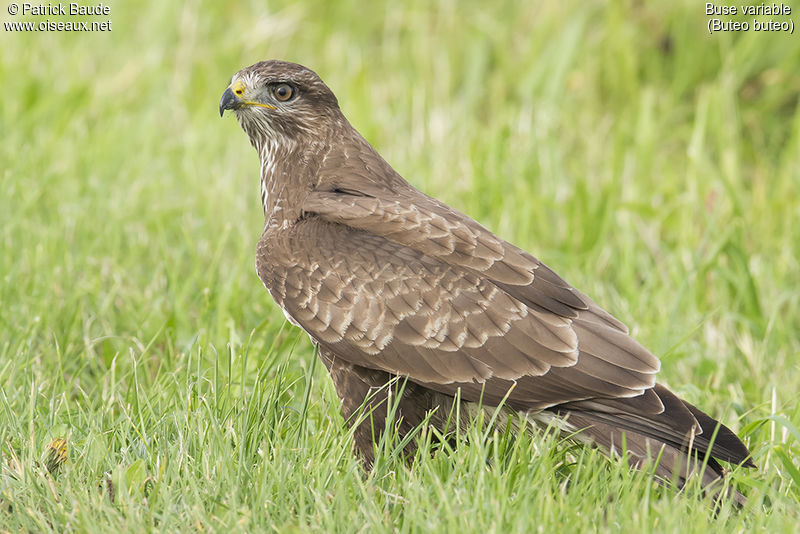 Buse variable adulte, identification