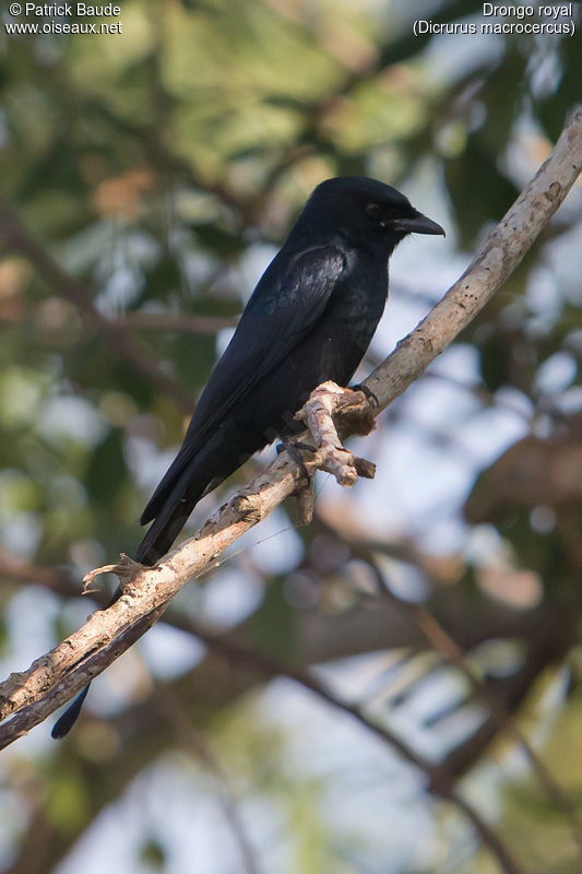 Drongo royal adulte, identification