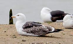 Goéland marin