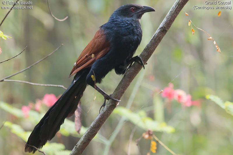 Grand Coucal adulte, identification